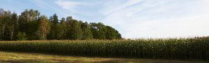 Bild på majsfält Foto: Jan Töve