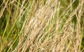 Gräs som har torkat
