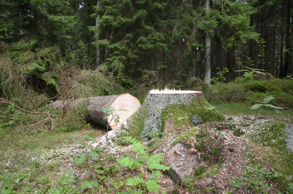 avhugget träd