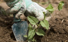 Närbild på händer med vita trädgårdshandsklar som planterar en växt i jorden